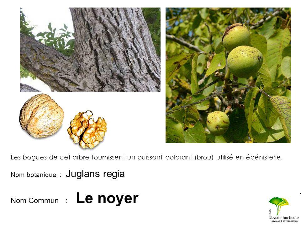 Nom botanique : Juglans regia Nom Commun : Le noyer Les bogues de cet arbre fournissent un puissant colorant (brou) utilisé en ébénisterie.