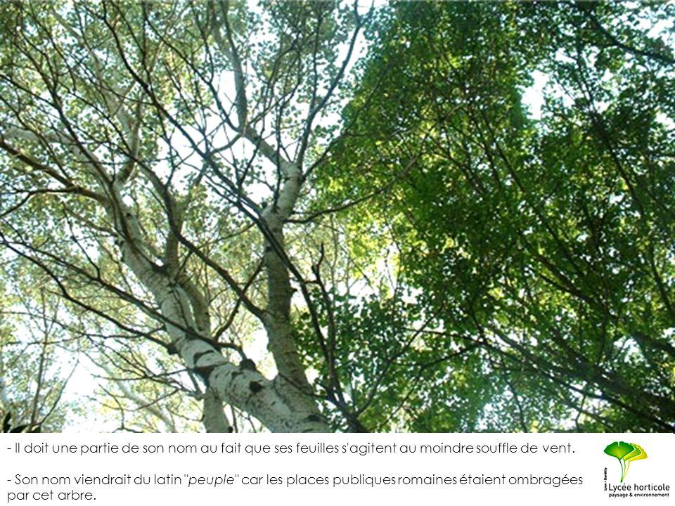 - Il doit une partie de son nom au fait que ses feuilles s'agitent au moindre souffle de vent. - Son nom viendrait du latin