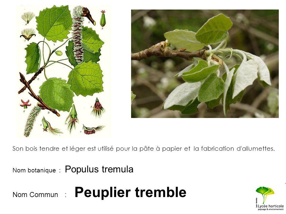 Nom botanique : Populus tremula Nom Commun : Peuplier tremble Son bois tendre et léger est utilisé pour la pâte à papier et la fabrication d'allumette