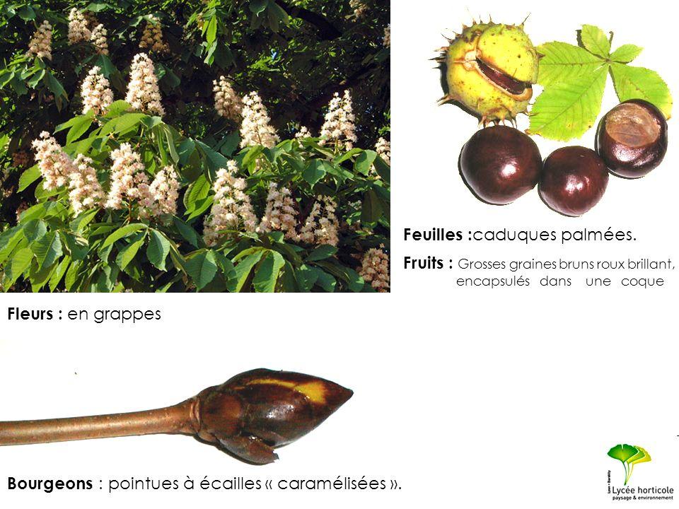Fleurs : en grappes Bourgeons : pointues à écailles « caramélisées ». Feuilles : caduques palmées. Fruits : Grosses graines bruns roux brillant, encap
