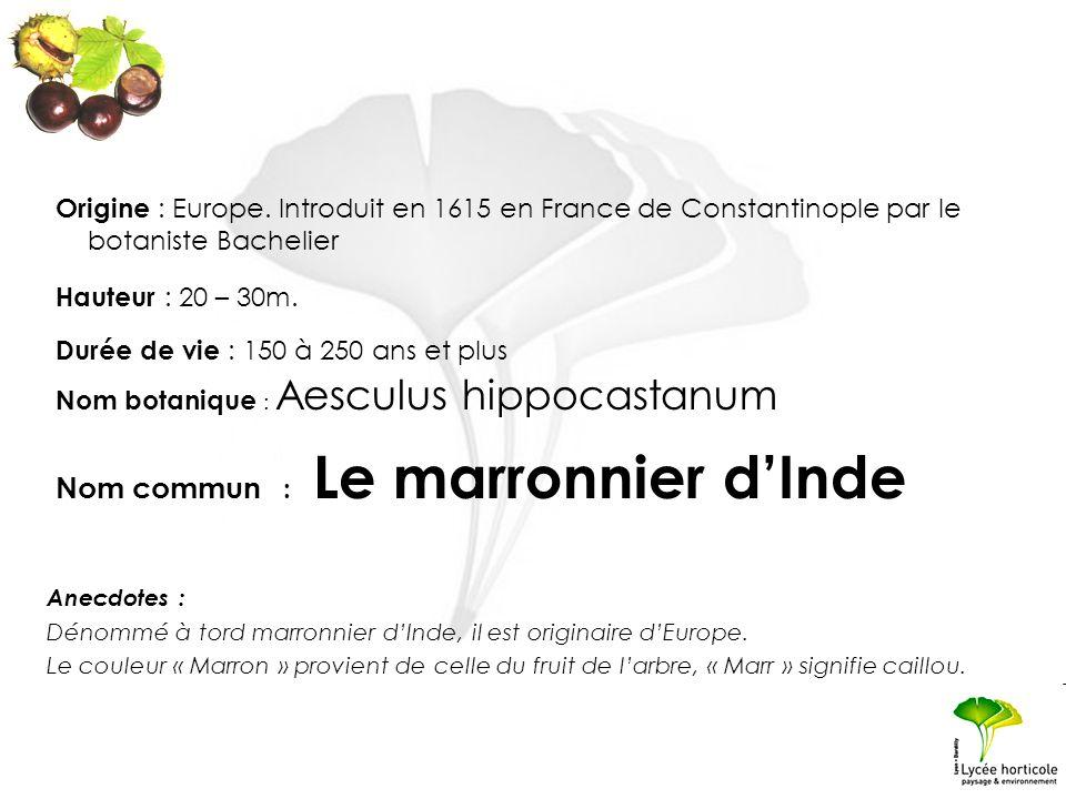 Nom botanique : Aesculus hippocastanum Hauteur : 20 – 30m. Origine : Europe. Introduit en 1615 en France de Constantinople par le botaniste Bachelier