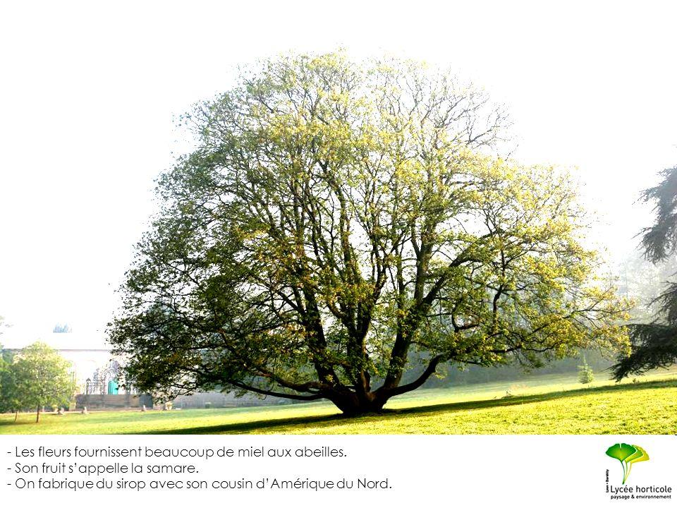 Son nom commun de « sycomore » lui vient de la ressemblance supposée des feuilles avec celles du figuier sycomore (Sukon en grec).