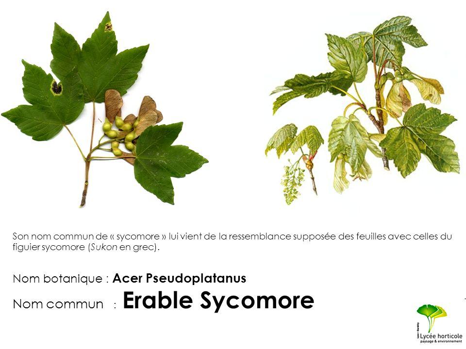 Son nom commun de « sycomore » lui vient de la ressemblance supposée des feuilles avec celles du figuier sycomore (Sukon en grec). Nom botanique : Ace