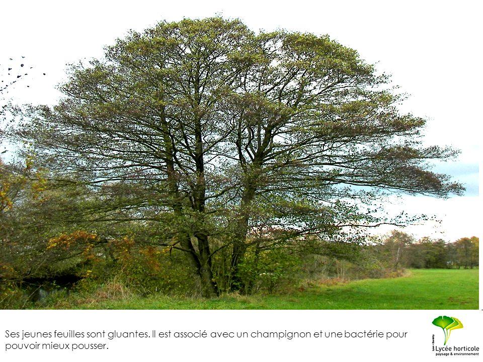 Ses jeunes feuilles sont gluantes. Il est associé avec un champignon et une bactérie pour pouvoir mieux pousser.