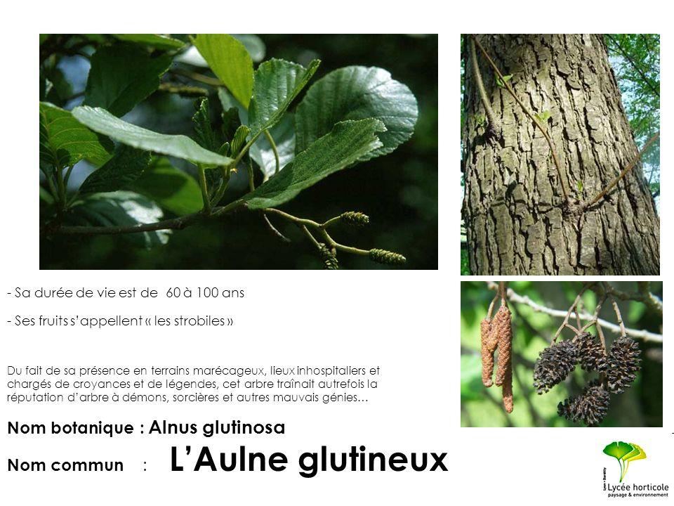 - Sa durée de vie est de 60 à 100 ans - Ses fruits sappellent « les strobiles » Nom botanique : Alnus glutinosa Nom commun : LAulne glutineux Du fait