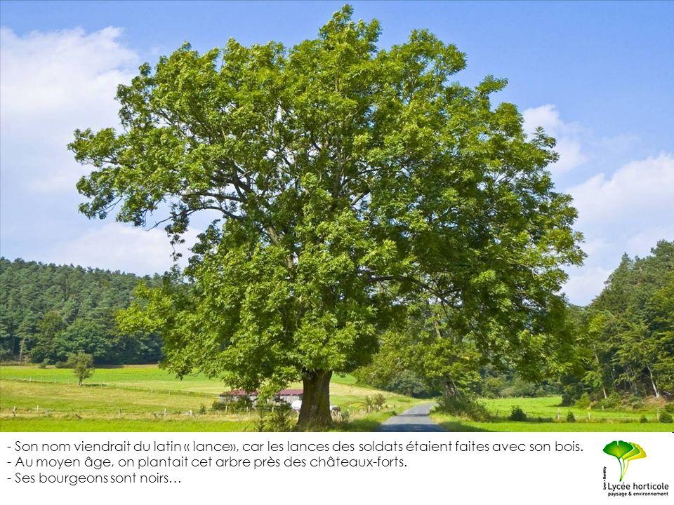 - Son nom viendrait du latin « lance», car les lances des soldats étaient faites avec son bois. - Au moyen âge, on plantait cet arbre près des château