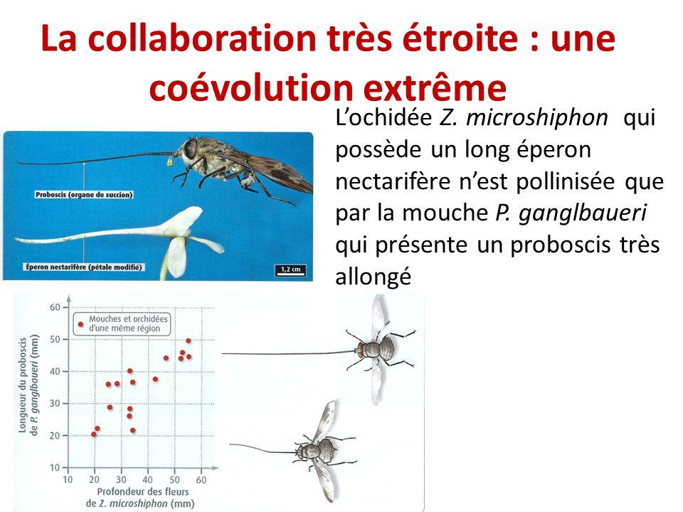 La collaboration très étroite : une coévolution extrême Lochidée Z. microshiphon qui possède un long éperon nectarifère nest pollinisée que par la mou