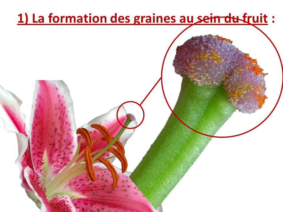 1) La formation des graines au sein du fruit :