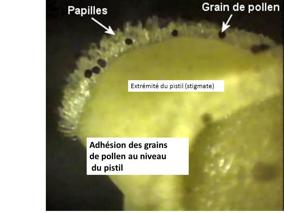 Adhésion des grains de pollen au niveau du pistil Extrémité du pistil (stigmate)