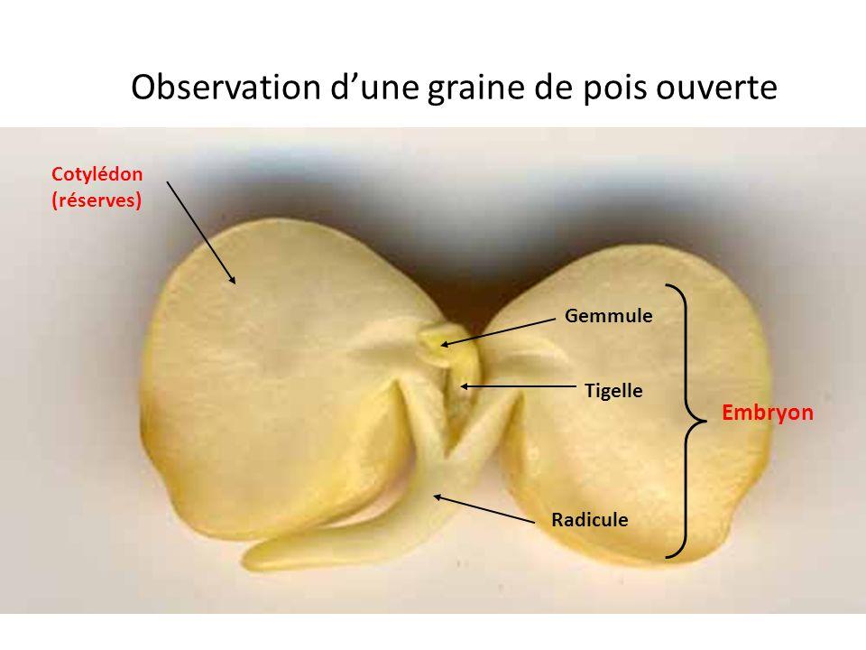 Observation dune graine de pois ouverte Cotylédon (réserves) Gemmule Tigelle Radicule Embryon