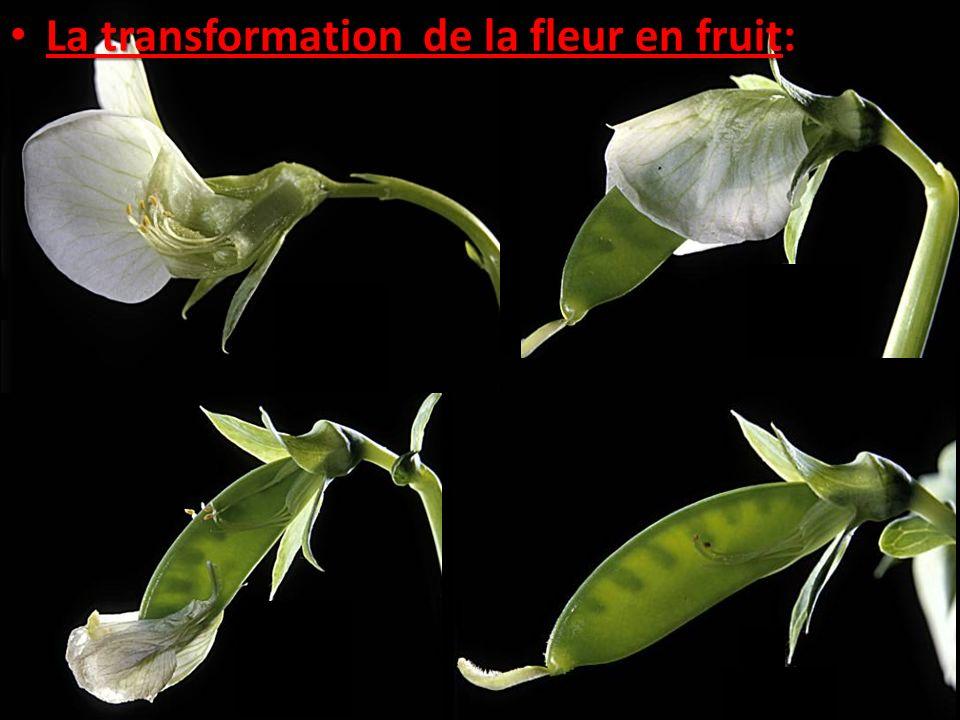 La transformation de la fleur en fruit: La transformation de la fleur en fruit:
