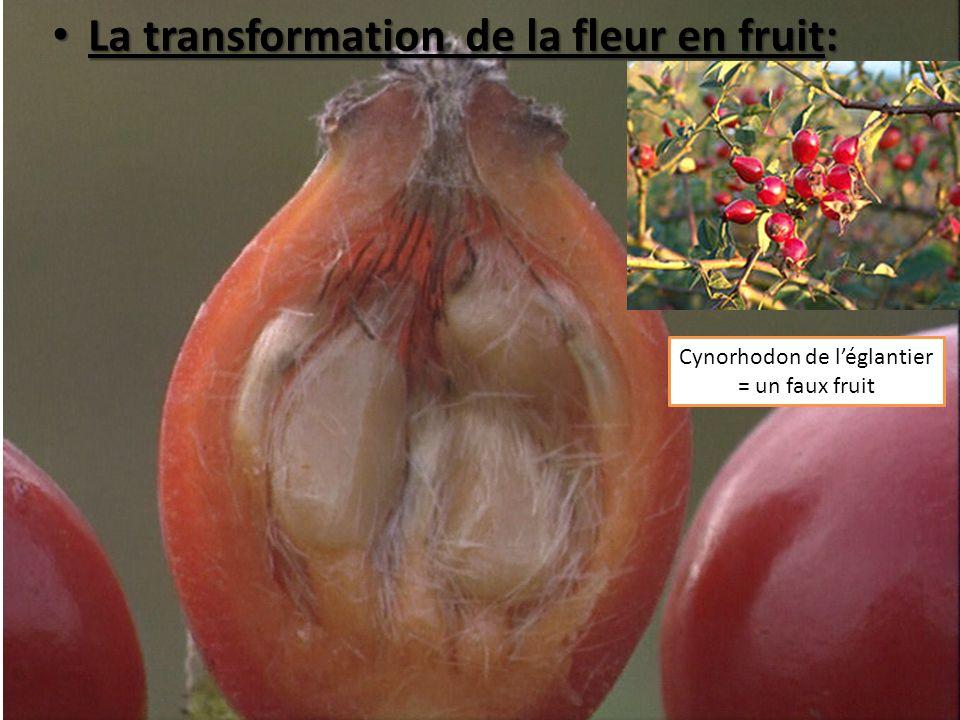 Cynorhodon de léglantier = un faux fruit