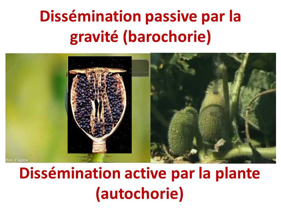 Dissémination passive par la gravité (barochorie) Dissémination active par la plante (autochorie)