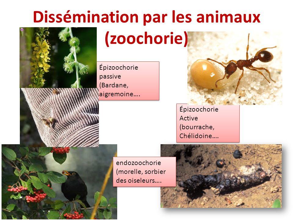 Dissémination par les animaux (zoochorie) Épizoochorie passive (Bardane, aigremoine…. Épizoochorie passive (Bardane, aigremoine…. Épizoochorie Active