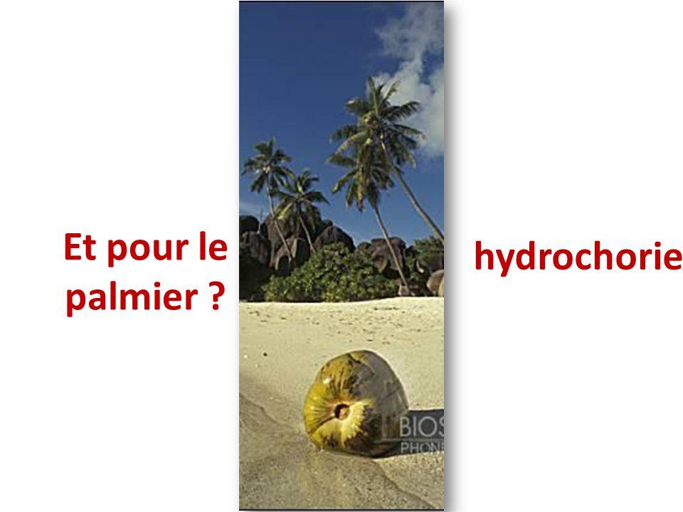 Et pour le palmier ? hydrochorie