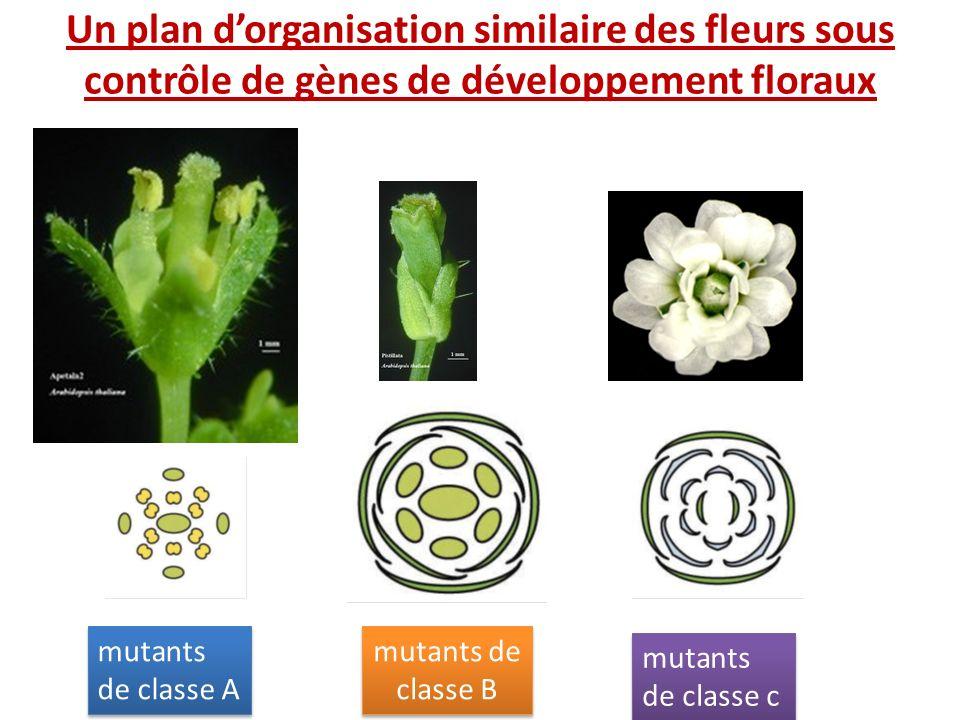 Un plan dorganisation similaire des fleurs sous contrôle de gènes de développement floraux mutants de classe A mutants de classe B mutants de classe c