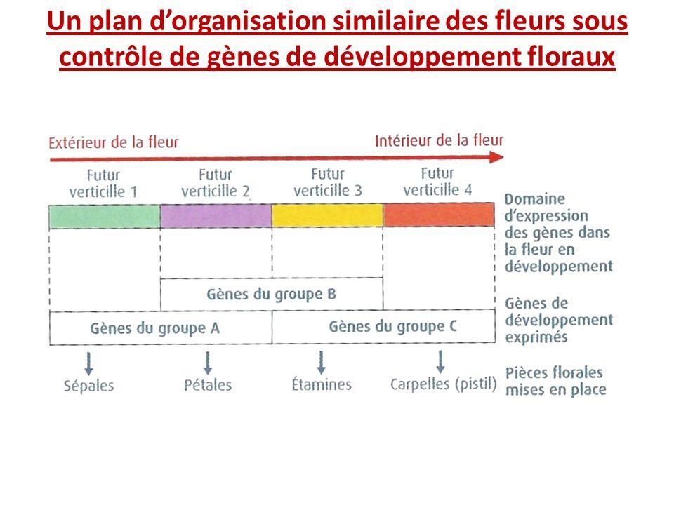 Un plan dorganisation similaire des fleurs sous contrôle de gènes de développement floraux