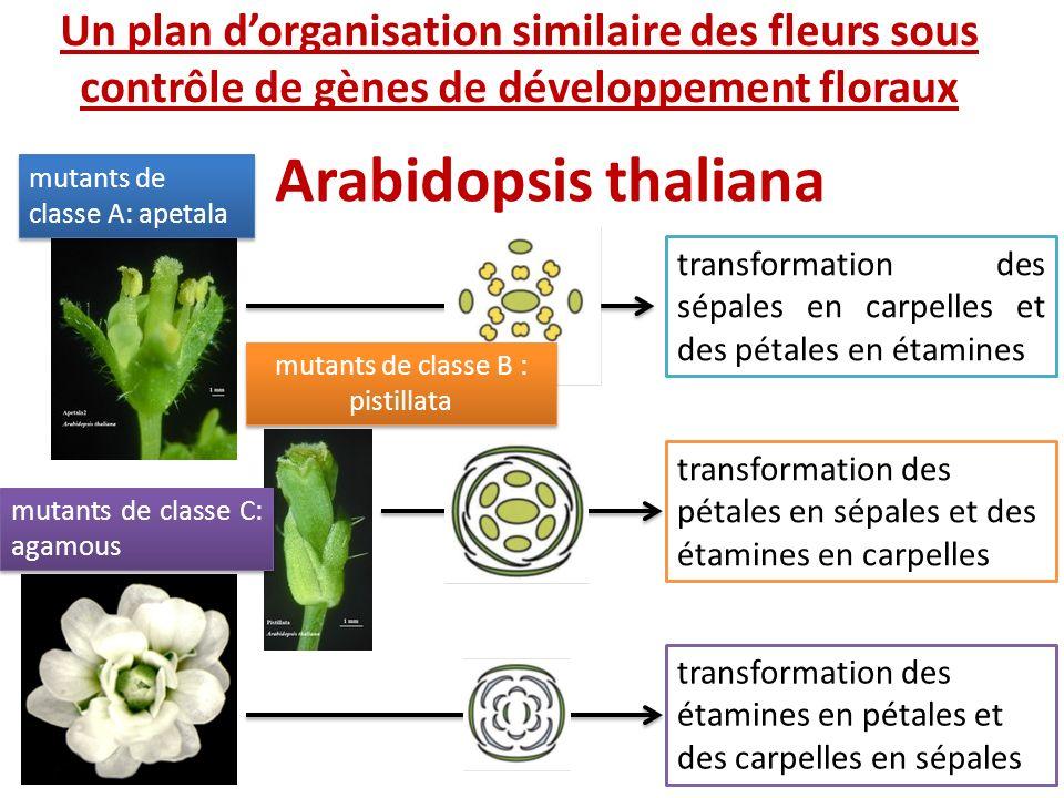 Arabidopsis thaliana transformation des sépales en carpelles et des pétales en étamines transformation des pétales en sépales et des étamines en carpe