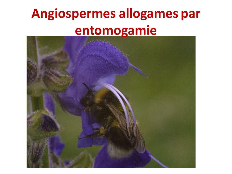Angiospermes allogames par entomogamie