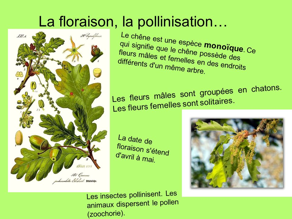 La floraison, la pollinisation… Les fleurs mâles sont groupées en chatons. Les fleurs femelles sont solitaires. Le chêne est une espèce monoïque. Ce q
