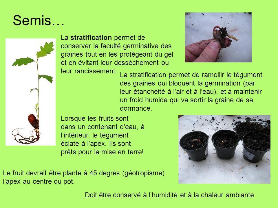 Semis… La stratification permet de ramollir le tégument des graines qui bloquent la germination (par leur étanchéité à lair et à leau), et à maintenir