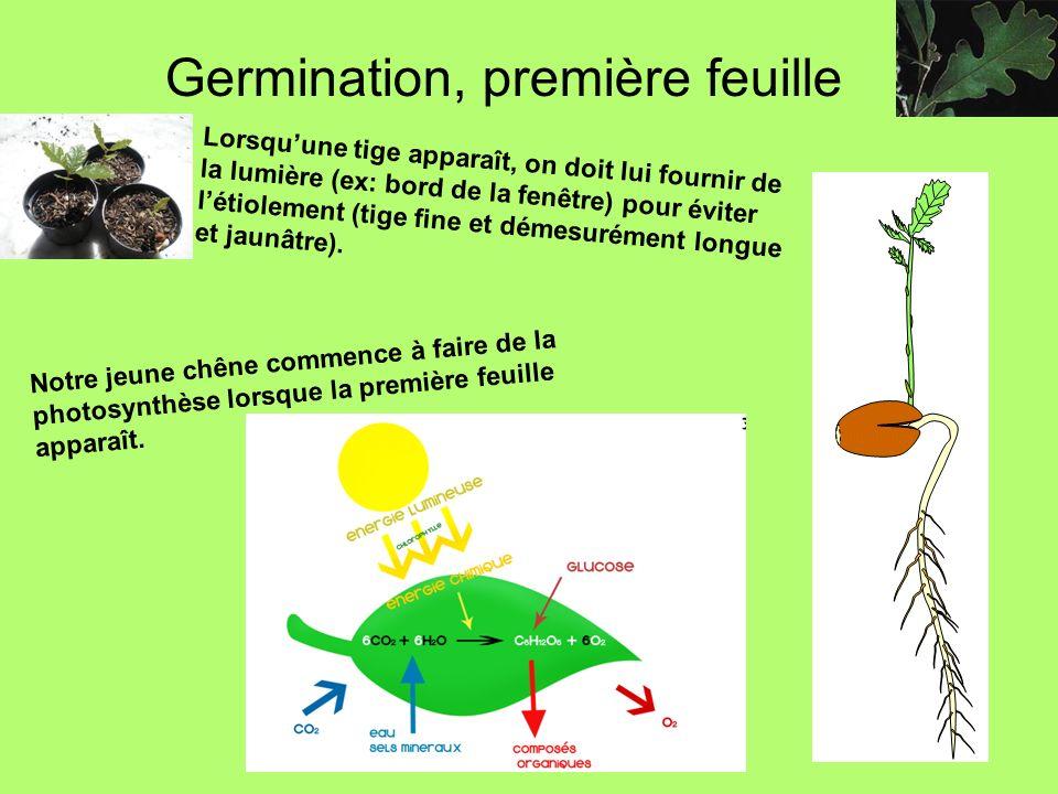 Germination, première feuille Lorsquune tige apparaît, on doit lui fournir de la lumière (ex: bord de la fenêtre) pour éviter létiolement (tige fine e