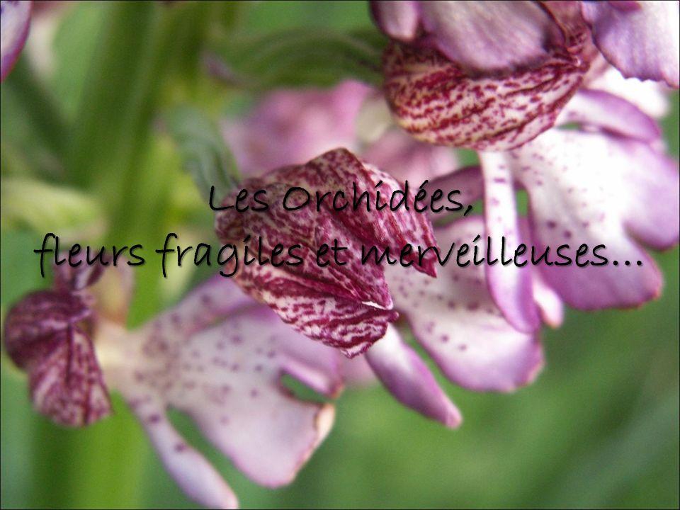 Les Orchidées, fleurs fragiles et merveilleuses…