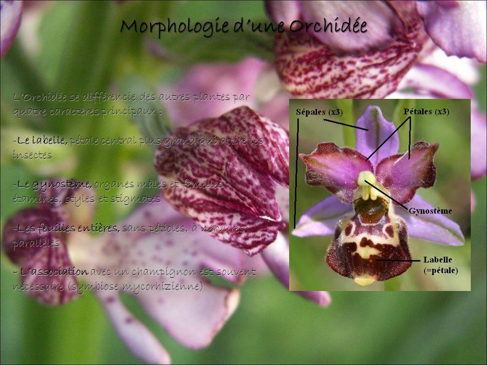 LOrchidée se différencie des autres plantes par quatre caractères principaux : -Le labelle, pétale central plus grand qui attire les insectes -Le gynostème, organes mâles et femelles : étamines, styles et stigmates -Les feuilles entières, sans pétioles, à nervures parallèles - Lassociation avec un champignon est souvent nécessaire (symbiose mycorhizienne) Morphologie dune Orchidée