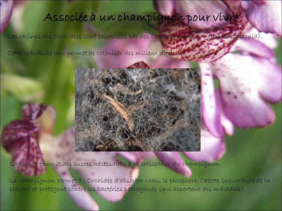 Les racines des Orchidées sont colonisées par des champignons(du genre Rhizoctonia).