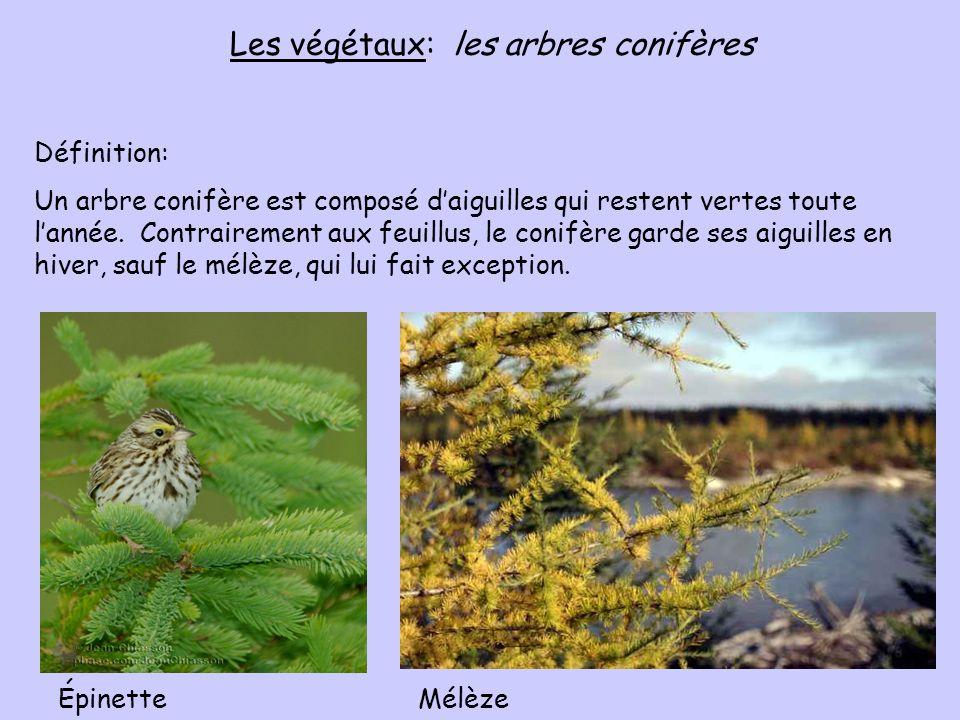 Les végétaux: les arbres conifères Définition: Un arbre conifère est composé daiguilles qui restent vertes toute lannée. Contrairement aux feuillus, l
