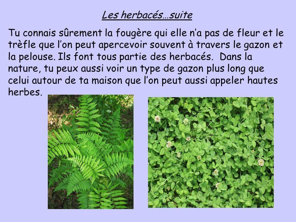 Les herbacés…suite Tu connais sûrement la fougère qui elle na pas de fleur et le trèfle que lon peut apercevoir souvent à travers le gazon et la pelou