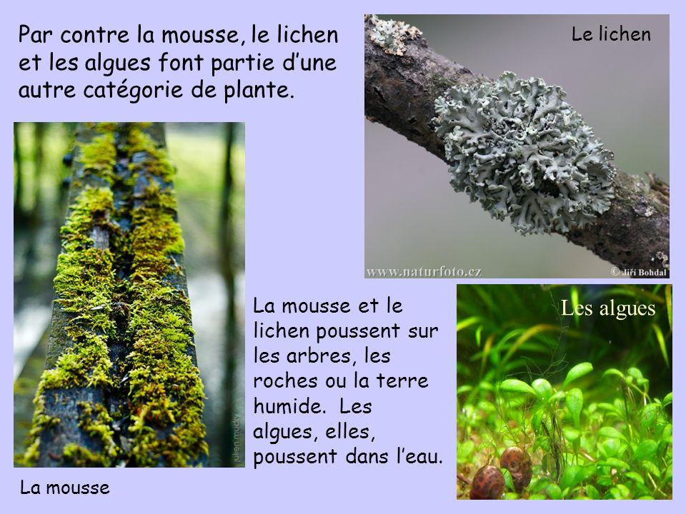 Par contre la mousse, le lichen et les algues font partie dune autre catégorie de plante. La mousse et le lichen poussent sur les arbres, les roches o