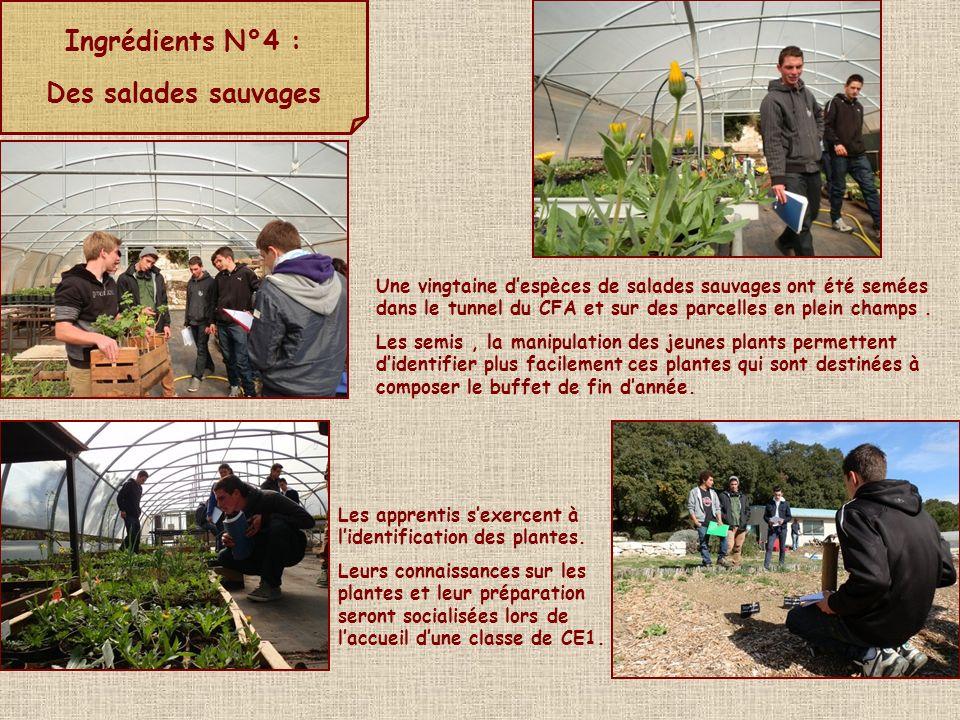 Ingrédients N°4 : Des salades sauvages : récoltes, préparation et dégustation Les apprentis préparent une salade avec les espèces récoltées autour du CFA.