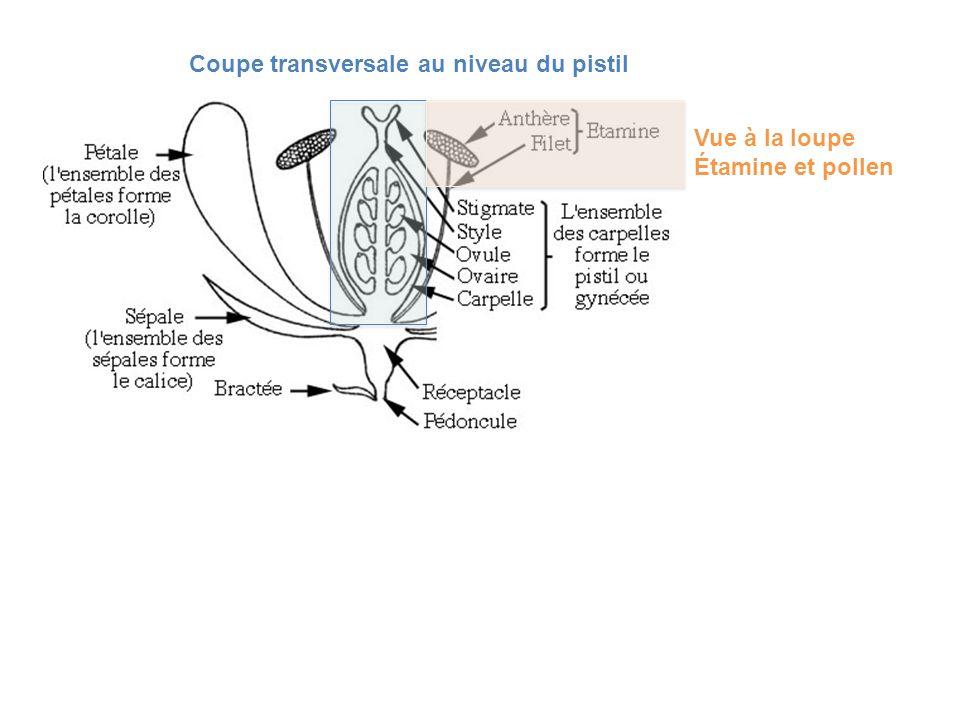 Coupe transversale au niveau du pistil Vue à la loupe Étamine et pollen