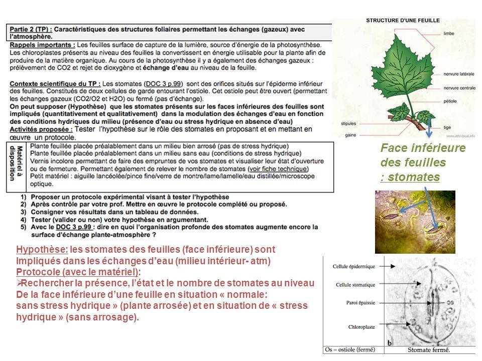 Face inférieure des feuilles : stomates M.O X 400 Hypothèse: les stomates des feuilles (face inférieure) sont Impliqués dans les échanges deau (milieu intérieur- atm) Protocole (avec le matériel): Rechercher la présence, létat et le nombre de stomates au niveau De la face inférieure dune feuille en situation « normale: sans stress hydrique » (plante arrosée) et en situation de « stress hydrique » (sans arrosage).