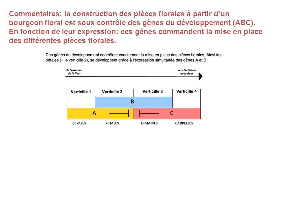 Commentaires: la construction des pièces florales à partir dun bourgeon floral est sous contrôle des gènes du développement (ABC). En fonction de leur