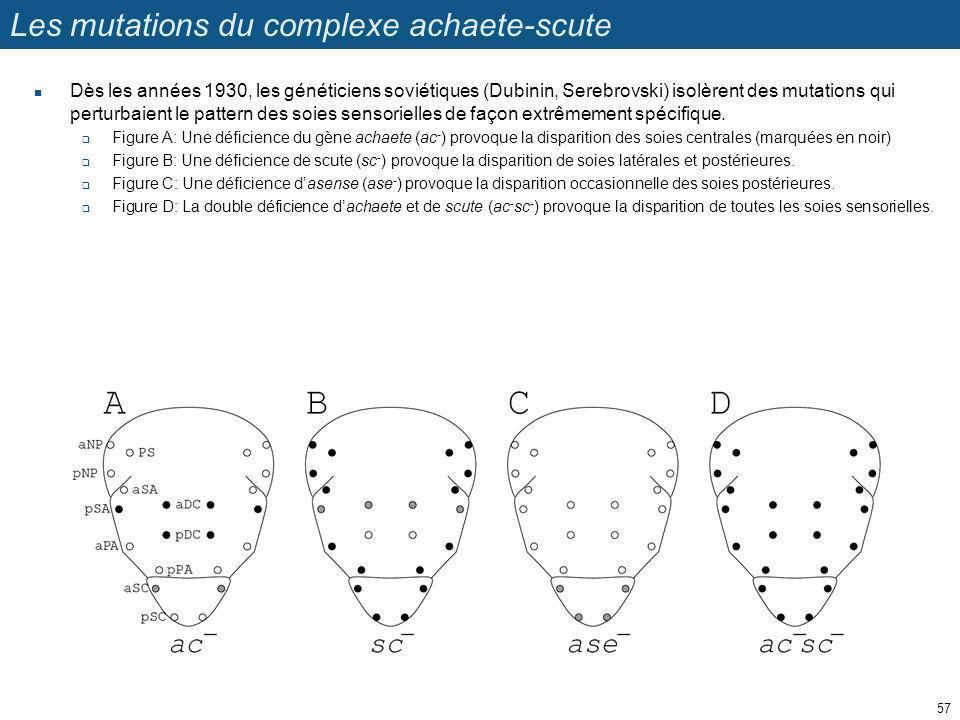 Les mutations du complexe achaete-scute Dès les années 1930, les généticiens soviétiques (Dubinin, Serebrovski) isolèrent des mutations qui perturbaie