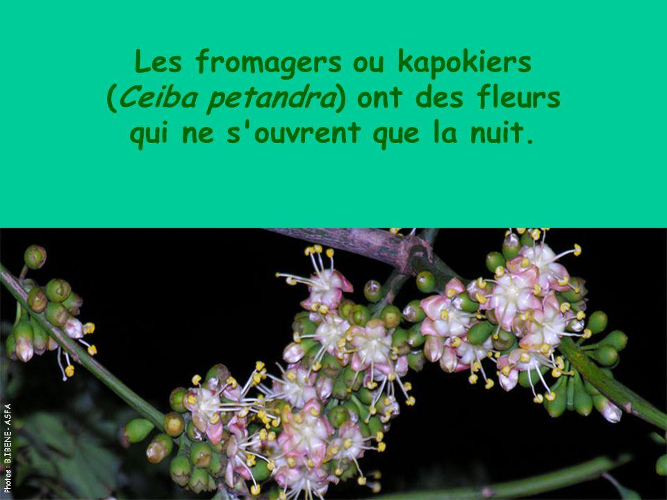 Les fromagers ou kapokiers (Ceiba petandra) ont des fleurs qui ne s'ouvrent que la nuit. Photos : B.IBENE - ASFA