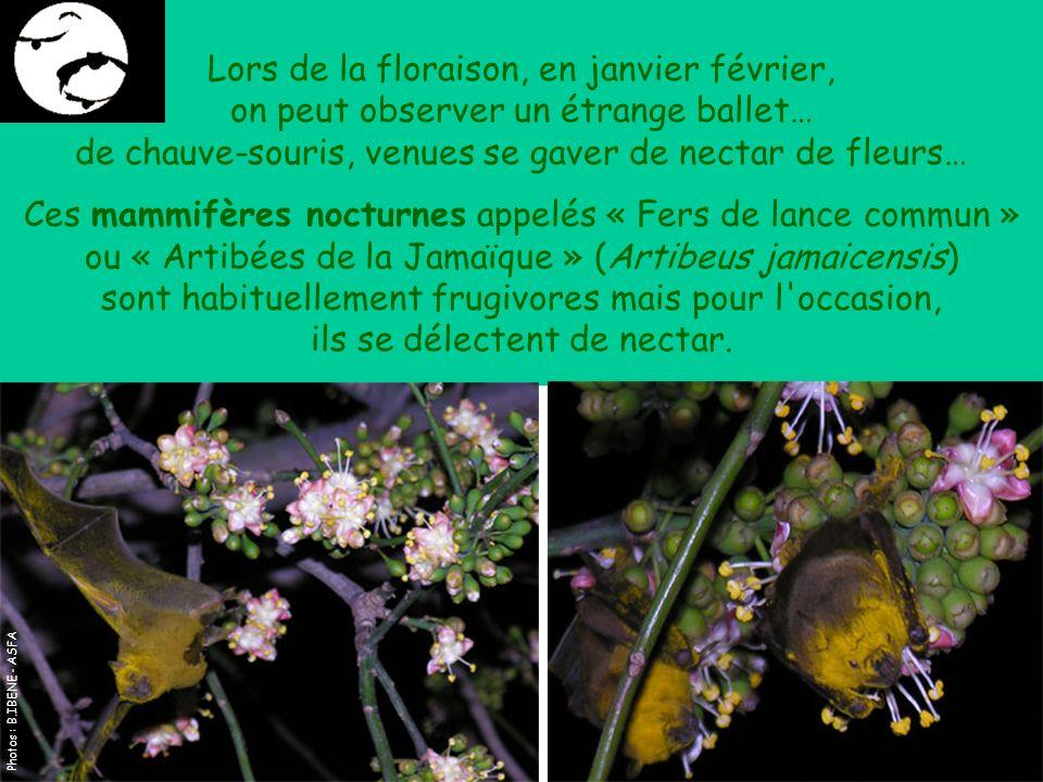 Lors de la floraison, en janvier février, on peut observer un étrange ballet… de chauve-souris, venues se gaver de nectar de fleurs… Ces mammifères nocturnes appelés « Fers de lance commun » ou « Artibées de la Jamaïque » (Artibeus jamaicensis) sont habituellement frugivores mais pour l occasion, ils se délectent de nectar.