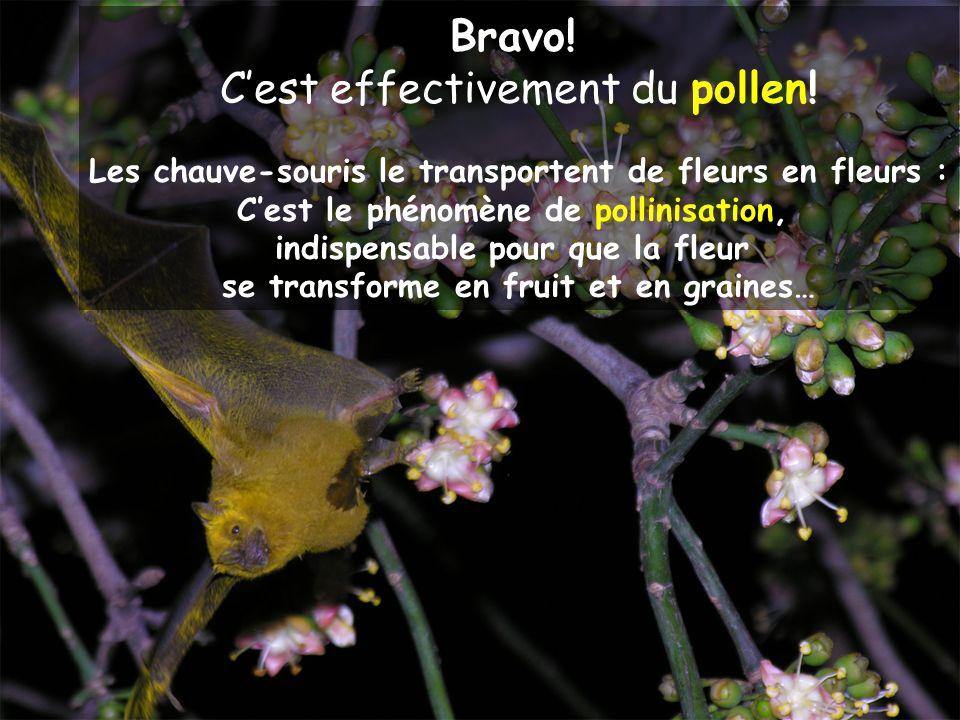 Bravo! Cest effectivement du pollen! Les chauve-souris le transportent de fleurs en fleurs : Cest le phénomène de pollinisation, indispensable pour qu