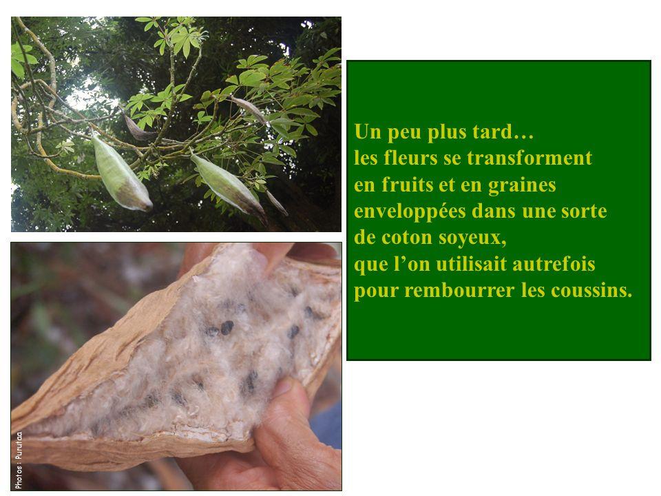 Un peu plus tard… les fleurs se transforment en fruits et en graines enveloppées dans une sorte de coton soyeux, que lon utilisait autrefois pour rembourrer les coussins.
