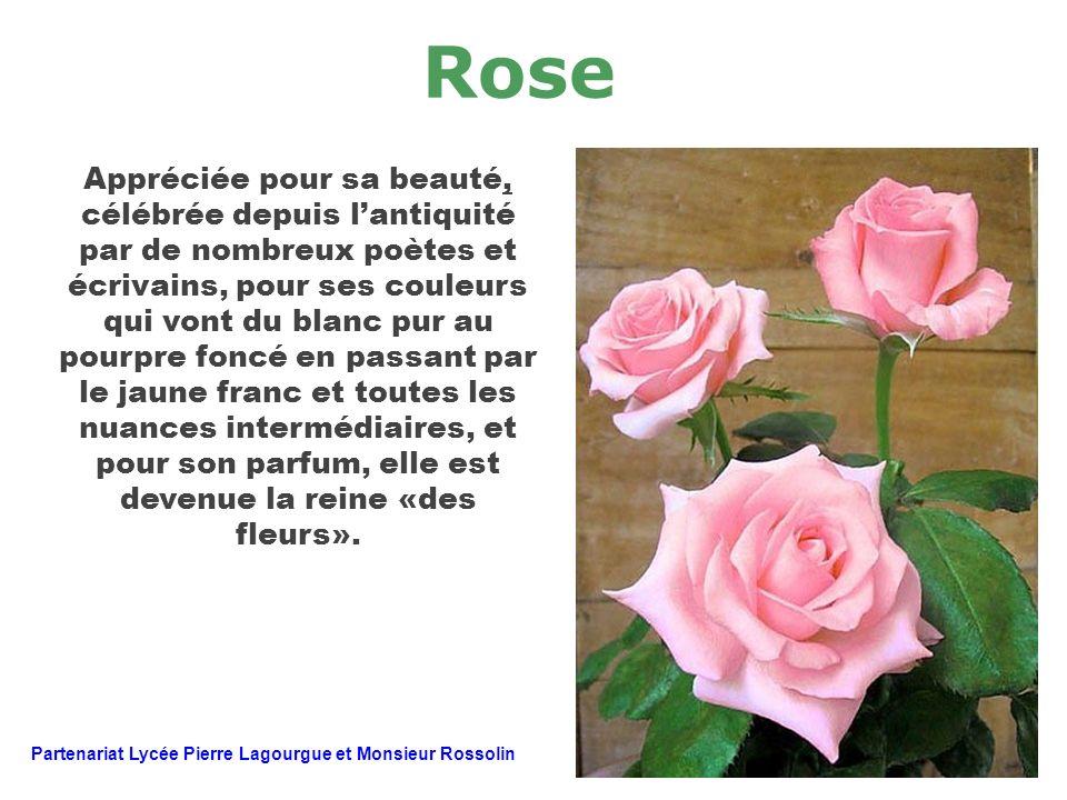 Rose Appréciée pour sa beauté, célébrée depuis lantiquité par de nombreux poètes et écrivains, pour ses couleurs qui vont du blanc pur au pourpre fonc