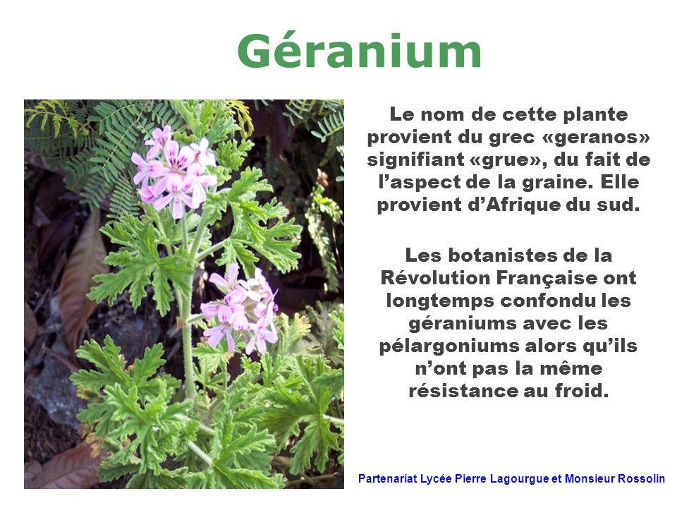 Géranium Le nom de cette plante provient du grec «geranos» signifiant «grue», du fait de laspect de la graine. Elle provient dAfrique du sud. Les bota