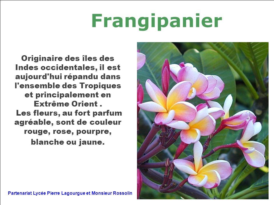 Frangipanier Originaire des îles des Indes occidentales, il est aujourd'hui répandu dans l'ensemble des Tropiques et principalement en Extrême Orient.