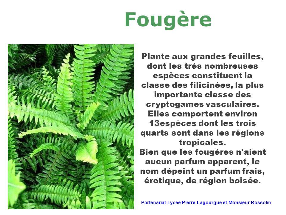Fougère Plante aux grandes feuilles, dont les très nombreuses espèces constituent la classe des filicinées, la plus importante classe des cryptogames