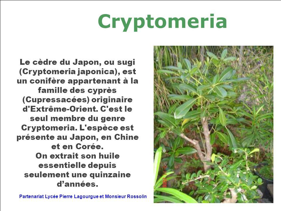 Cryptomeria Le cèdre du Japon, ou sugi (Cryptomeria japonica), est un conifère appartenant à la famille des cyprès (Cupressacées) originaire d'Extrême