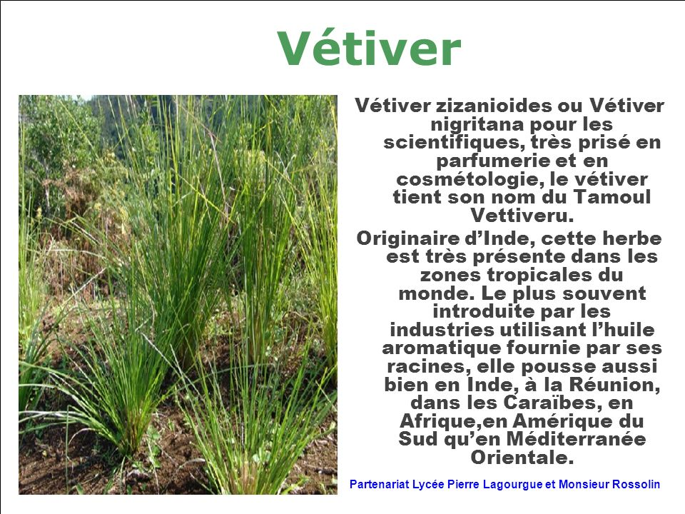 Vétiver Vétiver zizanioides ou Vétiver nigritana pour les scientifiques, très prisé en parfumerie et en cosmétologie, le vétiver tient son nom du Tamo