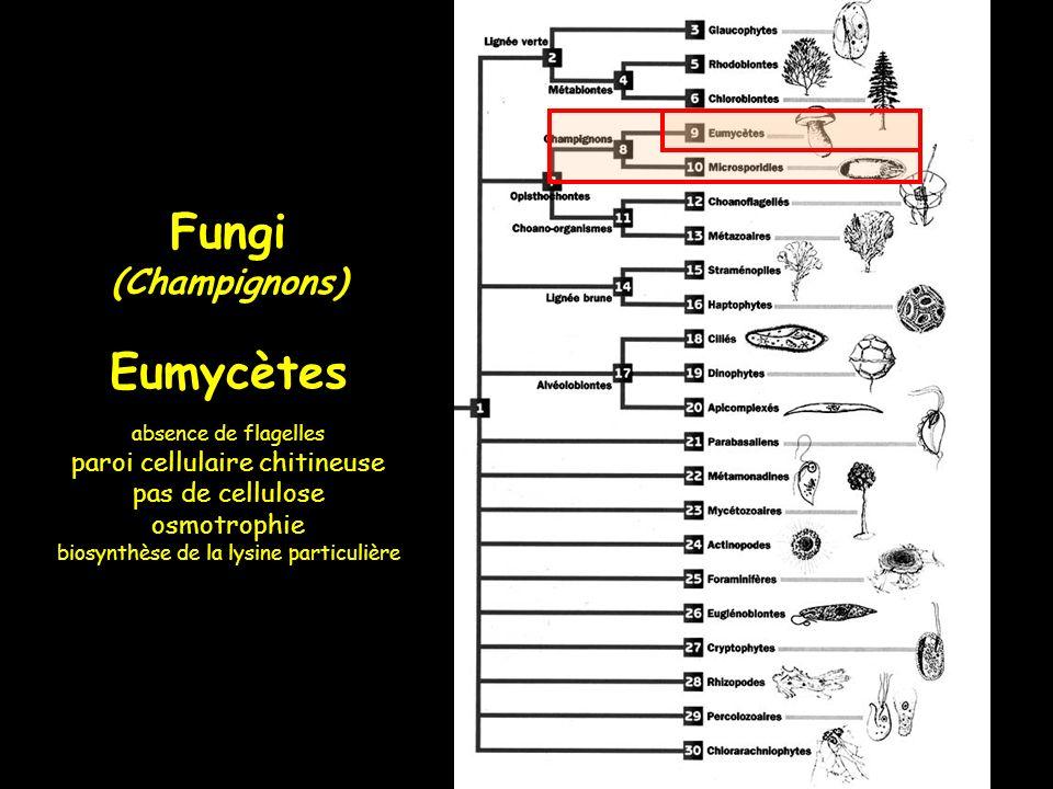 Eumycètes : carpophores dAgaricum