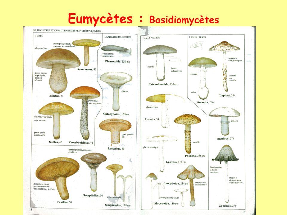 Eumycètes : Basidiomycètes