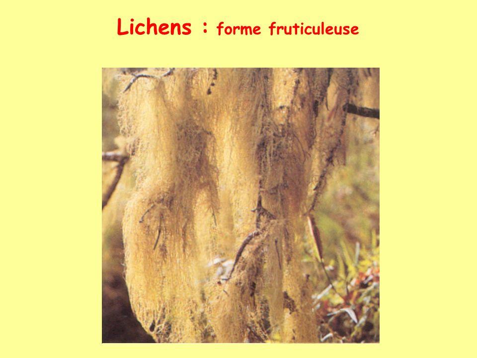 Lichens : forme fruticuleuse